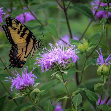 Eastern Tiger Swallowtail feasting on wild bergamot