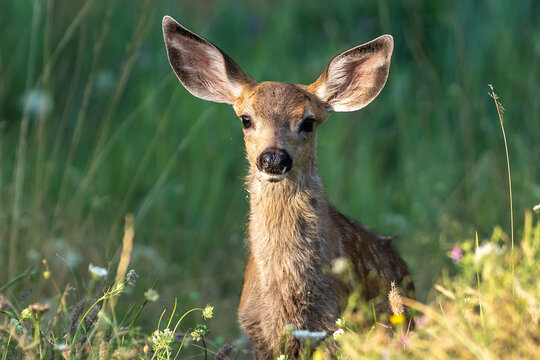 White-tailed deer fawn, baby animal.