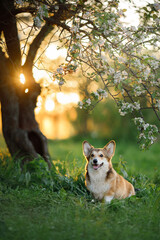 dog portrait in nature. red and white Welsh corgi pembroke sitting by an apple tree at sunset. Active pet outdoors