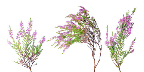 three fine pink blossoming heather branches on white