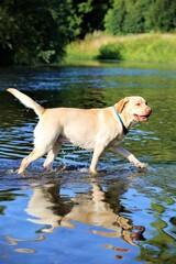 golden retriever in water