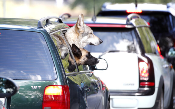 Dogs look out of a window as cars queue during sunny summer weather in Zurich
