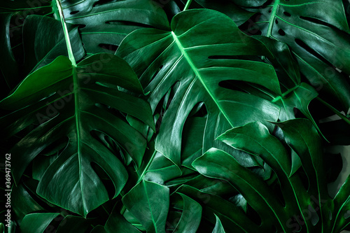 Wall mural closeup nature view of green leaf in garden, dark tone nature background, tropical leaf