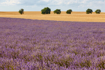 Lavender fields in summer. Guadalajara, Spain
