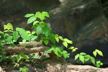 Poison ivy vines on rocky grounds