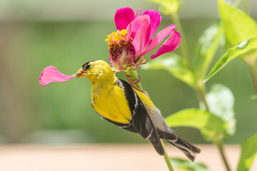 Goldfinch bird perched on pink zinnia flower with petal in its beak