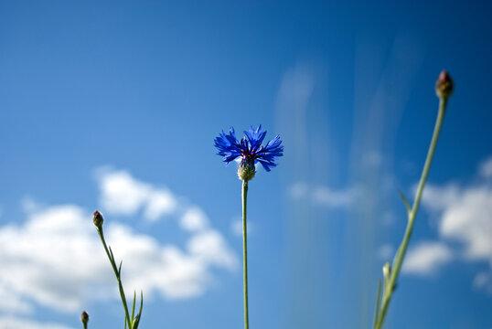 Cornflower on a blue sky background