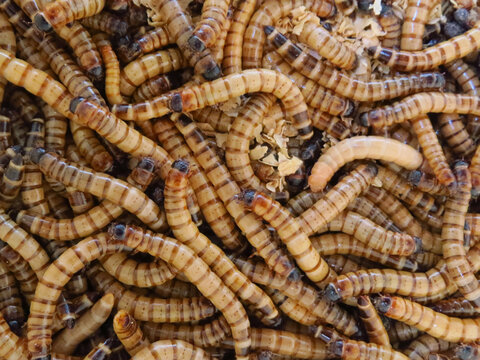 Closeup shot of a group of superworms on each other