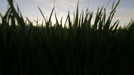 Fototapete - Rural summer landscape at sunset or sunrise. Rises from the grass to the top of field in the sun rays. Green field of wheat and blue sky on farm. Green meadow. Nature landscape wilderness. Agriculture