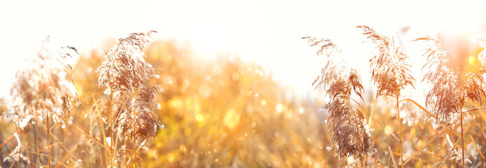 Reed in sunlight, blurred artistic nature background. Beautiful Tranquil landscape scene. wild fluffy grass. summer or autumn season. banner
