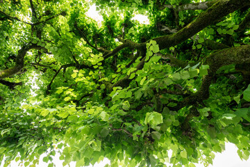 View into the tree top of the linden tree. Green natural background