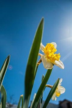 Flower of Narcissus оn a blue sky
