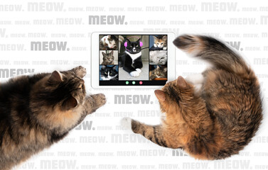 """Top view of two cats talking to cat friends in video conference, using a tablet. Group of cats /pets having an online meeting in video call. Multiple """"Meow."""" as background, symbolizing talking."""