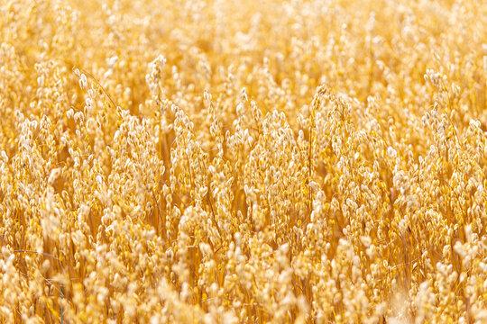 Golden oat straws on warm summer day in rural field