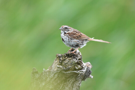 Song Sparrow on a tree stump