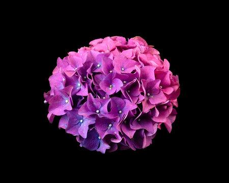 Purple hydrangea flowerhead isolated on a black background