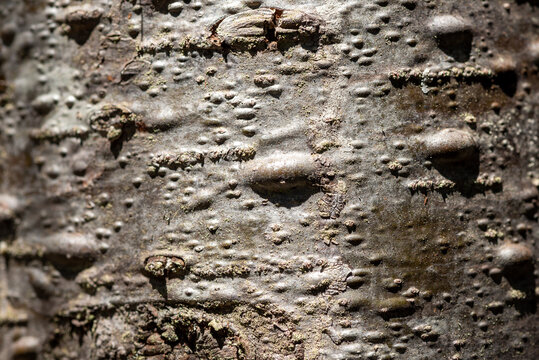 Macro from balsam fir tree with resin sap blisters on the grey-brown bark of a balsam tree. The bark is rough and scaly with abundant cysts and pouches of various sizes.