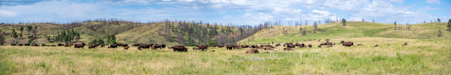 Panoramic open grassland prairie with buffalo at Custer State Park in South Dakota, USA