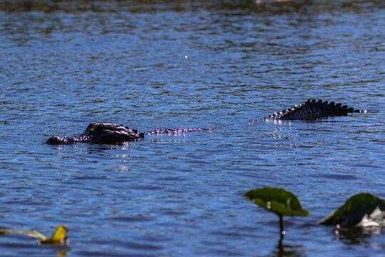 Alligator swimming in the Everglades, Florida, USA