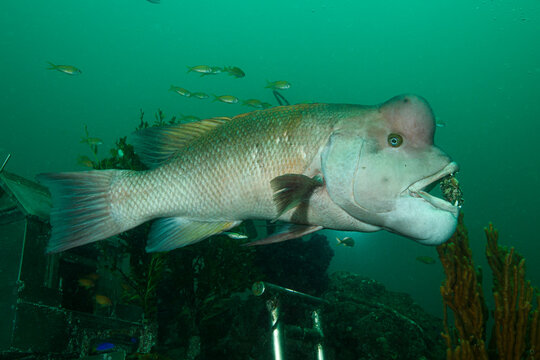 Portrait Close up Fish Face Asian Sheepshead Wrasse Underwater in Chiba, Japan