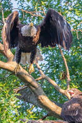 Bald eagle jumping off tree branch in forest to take flight