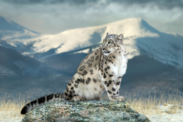 Close up snow leopard portrait in mountain landscape