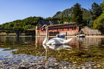 Swan with the Viscontea Island of Lecco in background