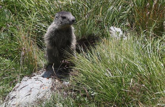A marmot sits in the grass at Kaiser-Franz-Josefs-Hoehe near Heiligenblut