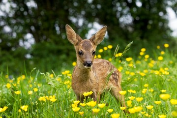 ROE DEER capreolus capreolus, FAWN WITH YELLOW FLOWERS, NORMANDY