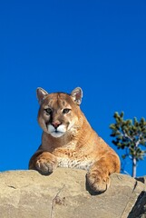 COUGAR puma concolor, ADULT STANDING ON ROCK, MONTANA
