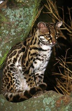 Margay Cat, leopardus wiedi, Adult sitting on Branch