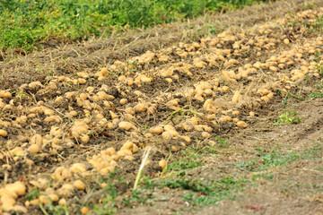 Harvesting potatoes on a farm at Lake Bolsena