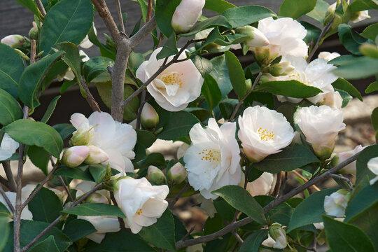 Spring Mist camellia (Camellia x lutchuensis 'Spring Mist')