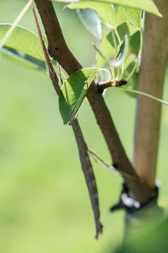 A female northern walkingstick using mimicry and camouflage to blend into its environment.