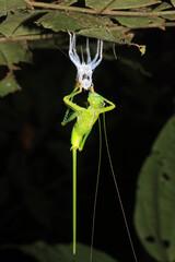 Cricket Upside Down on a Leaf, Molting its Exoskeleton. Tambopata, Amazon Rainforest, Peru
