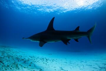 Great Hammerhead Shark (Sphyrna mokarran) between Surface and Sand Bottom. Tiger Beach, Bahamas