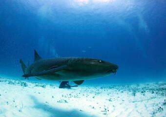 Nurse Shark (Ginglymostoma cirratum) Swimming by Closely. Bimini, Bahamas