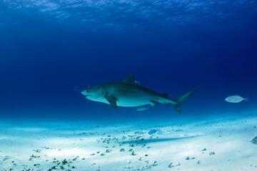Large Tiger Shark over Sand Bottom. Tiger Beach, Bahamas