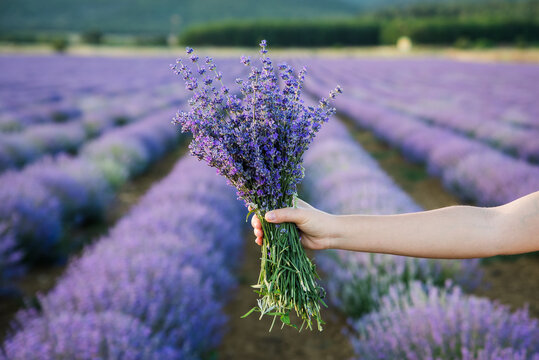 Woman's hand holding a lovely bouquet of lavender flowers.