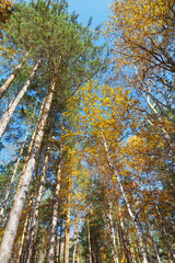 Bottom view of a beautiful autumn forest of coniferous and deciduous trees on a sunny September day. Traveling in the countryside. Natural autumn background