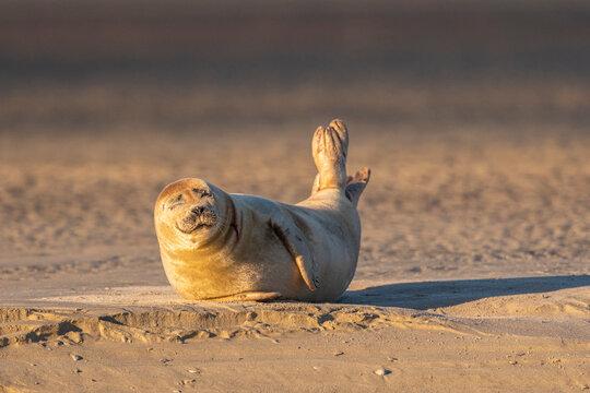 Phoque veau-marin en baie de Somme