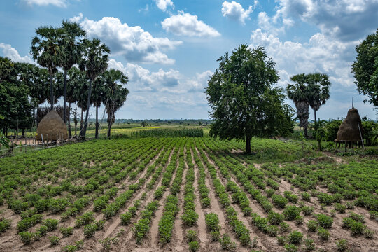 Vegetables field in Cambodia
