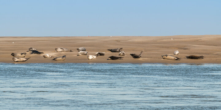 Les phoques en baie de Somme