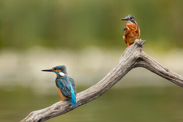 Wall Mural - Male and Female Common Kingfishers perched on branch with green background.