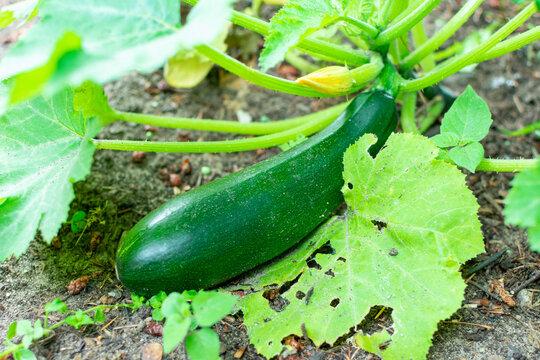 Reife Zucchini im Garten, fertig für die Ernte