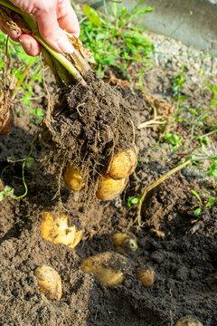 Hand hält frisch aus der Erde gezogene Kartoffelpflanze mit Kartoffeln.