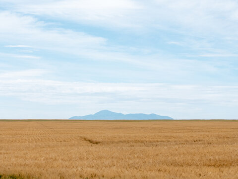 Field of wheat in front of sweetgrass hills