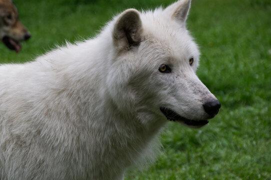 Close Up of a White Wolfdog Mix
