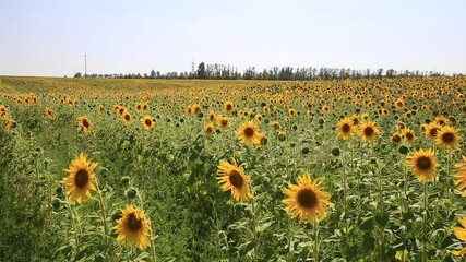 Fototapete - Sunflower Field. Agriculture. Rural Landscape, agricultural land. Farm. Blue Sky and white clouds above yellow Field Sunflower on sunny day, panoramic view. Yellow sunflowers against a blue sky in sun