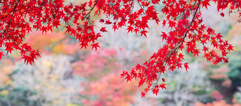 red maple leaves in the garden with copy space for text, natural colorful background for Autumn season and vibrant falling foliage concept